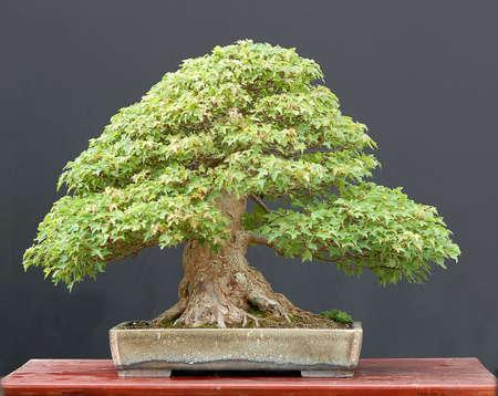 materia prima: Trident acero, Acer burgerianum, da materie prime importate, in stile da Walter Pall, 60 cm hihg, circa 50 anni, da Derek pentola Aspinall