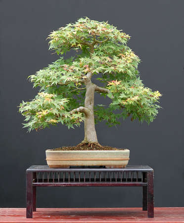 cm: Japanese maple, Acer palamtum, from nursery stock, styled by Walter Pall, 60 cm hihg, around 40 years old, pot by Derek Aspinall