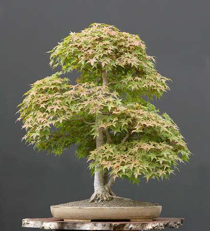 materia prima: Giapponese acero, Acer palmatum, 80 centimetri hihg, arond 60 anni, da materie prime importate, in stile da Walter Pall, pentola da Derek Aspinall Archivio Fotografico