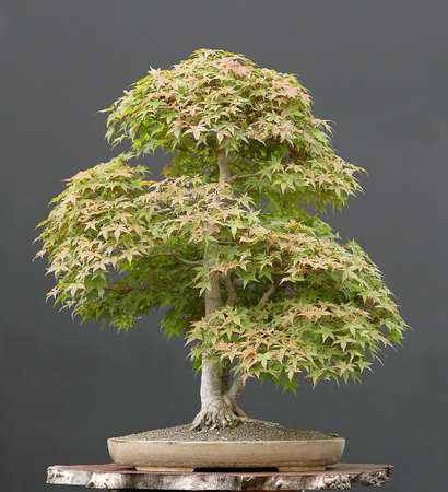 60 years old: Japanese maple, Acer palmatum, 80 cm hihg, arond 60 years old, from imported raw material, styled by Walter Pall, pot by Derek Aspinall