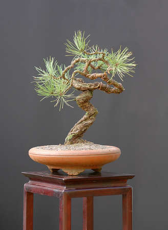 ponderosa: Ponderosa pine, Pinus ponderosa, 40 cm high, arond 100 years old, collected in Colorado, styled by Walter Pall