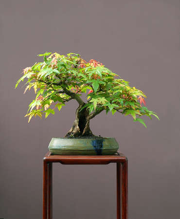 pall: Japanese maple, Acer palmatum, 25 cm high, shohin, around 40 years old, from nursery material, styled by Walter Pall