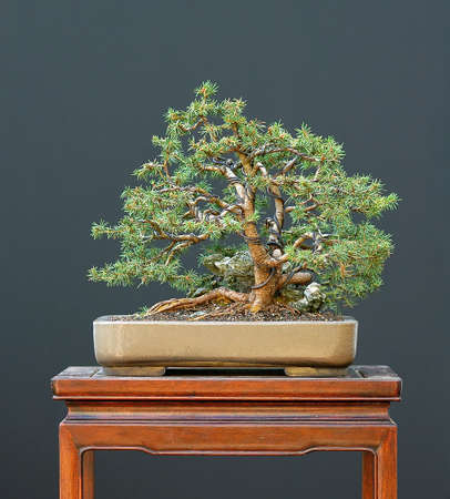 picea: European spruce, Picea abies, 25 cm high, around 40 years old, collected in Austria, styled by Walter pall, pot by derek Aspinall