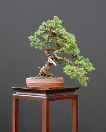 European spruce, Picea abiese, 30 cm high, around 100 years old, collected in Italy, styled by Walter Pall