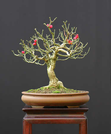 Euonymus europea, 30 cm high, around 30 years old, styled by Walter Pall