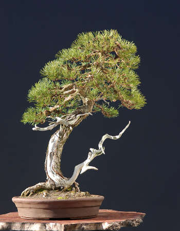 mugo pine, PInus mugo, 65 cm high, about 150 years old, collected in Switzerland, styled by Walter Pall, pot by Derek Aspinall
