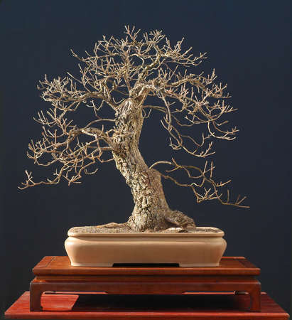 60 years old: maiden hair oak, Quercus pubescens, 80 cm high, around 60 years old
