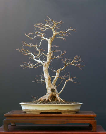 European field maple, Acer campestre, 70 cm high, around 40 years old Stock Photo
