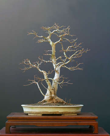 field maple: European field maple, Acer campestre, 70 cm high, around 50 years old