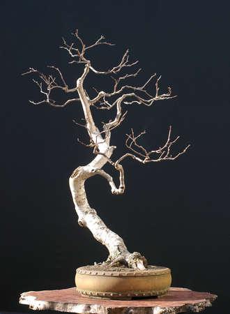 65 years old: European bog birch, Betula verrucosa, 65 cm high, around 50 years old