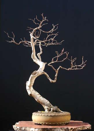 betula: European bog birch, Betula verrucosa, 65 cm high, around 50 years old