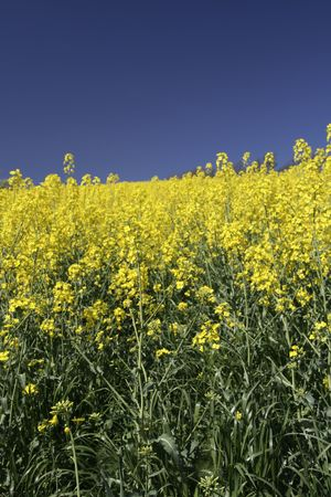 A rapeseed field with blue sky Stock Photo - 874744