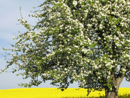 Blooming tree in front of a rapeseed field in spring time Stock Photo - 926998