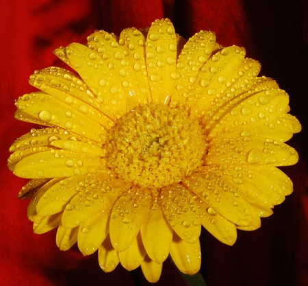 yellow daisy flower with water droplets Stock Photo