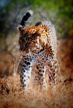 wild leopard taken inside Kruger Park South-Africa Stock Photo