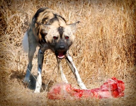 perro furioso: Perro salvaje, hambriento y enojado con su comida