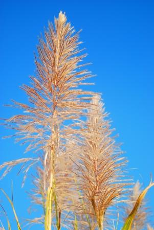 produce energy: sugar cane seeds Stock Photo