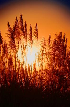 sugarcane with sunset background