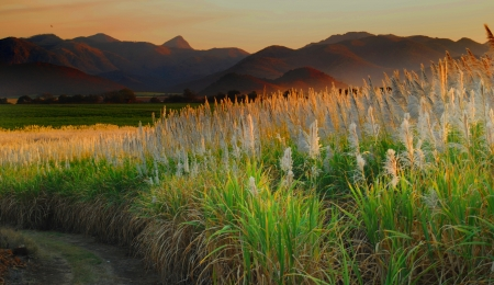 sugar cane farm: sugar cane farmland