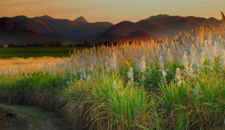 suikerriet landbouwgrond Stockfoto