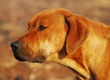 Rhodesian ridgeback dog side view