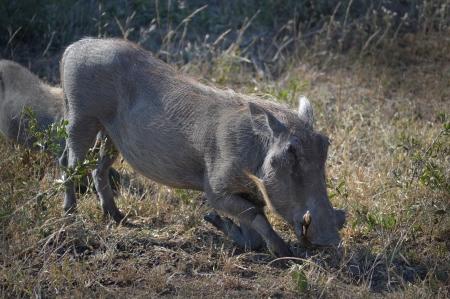 warthog feeding Stock Photo
