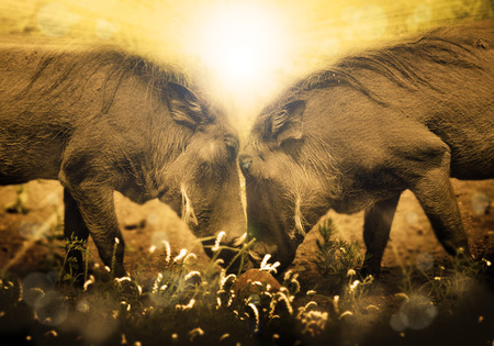 Warthogs in love; with African sunrise in background  Stock Photo
