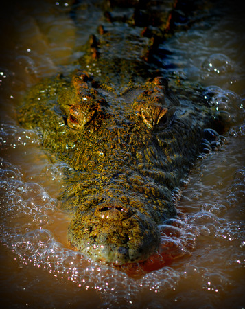 alligator eyes: Nile Crocodile Stock Photo