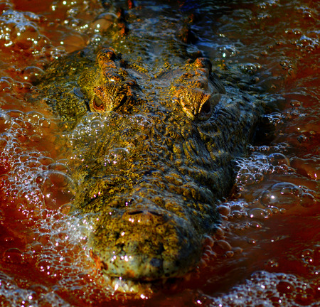 salt marsh: Crocodile face  Stock Photo