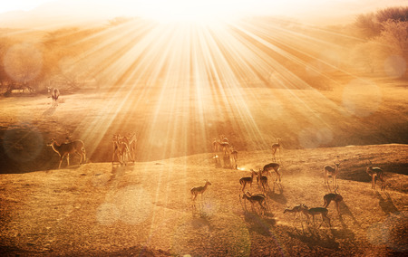 kalahari: African sunrise with antelopes
