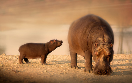 baby hippo and mother photo