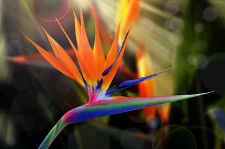 Strelitzia flower   Also known as  Bird of Paradise  or  Crane flower