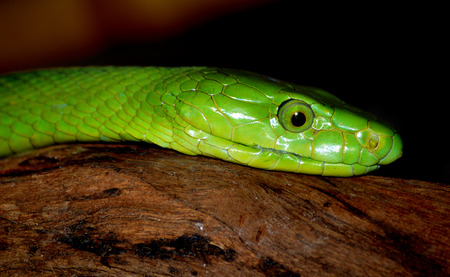 slither: Green Mamba
