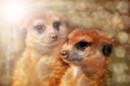 Meerkat closeup