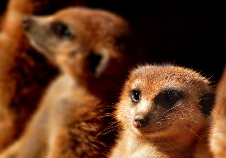 closeup Meerkat
