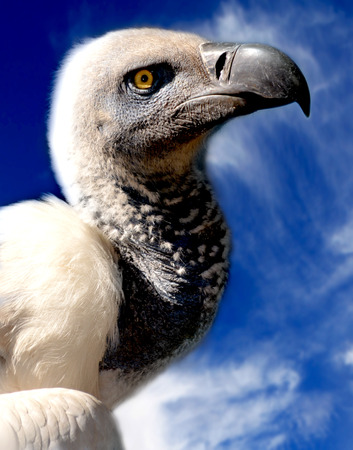 vulture  Closeup of Cape vulture with blue sky