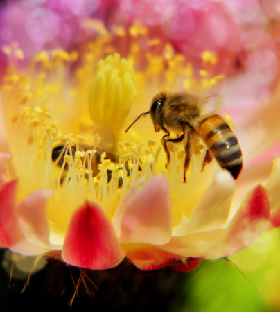 honey bees at work on cactus flower Stock Photo