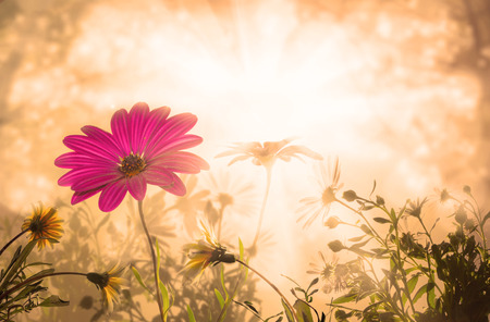 daisy flower at sunrise, spring time