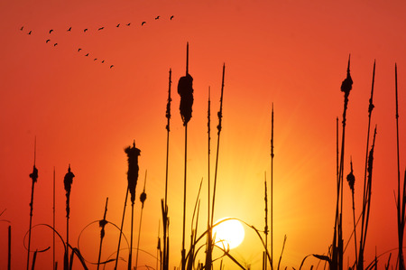 grass and cane silhouette at sunset