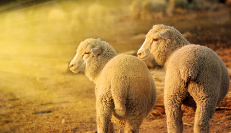 merino sheep: sheep at sunrise