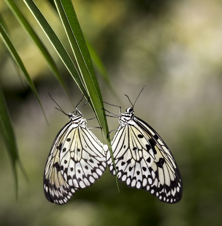 md: Two Paperkite butterflies, photographed at Brookside Gardens in Wheaton, MD