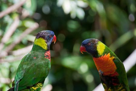 lovebirds: Two lovebirds