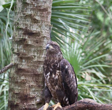 aguila real: águila real, sentado