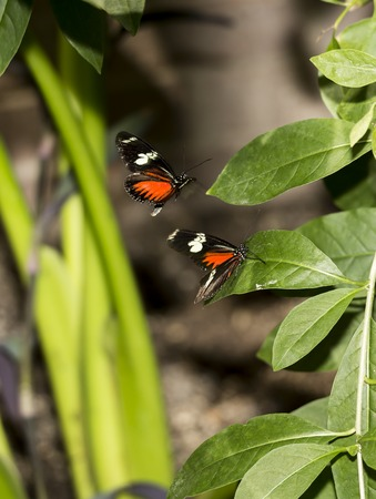 Two butterflies (Postman)