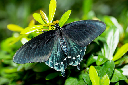 Teal, blue and black butterfly