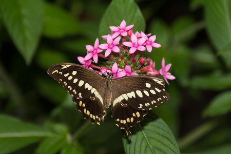 Brown and white butterfly on a pink flower