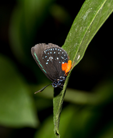 Black and ornge butterfly