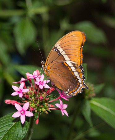 Orange and white butterfly on a pink flower Banco de Imagens