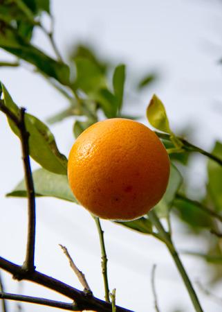 florida citrus: Orange on a tree Stock Photo