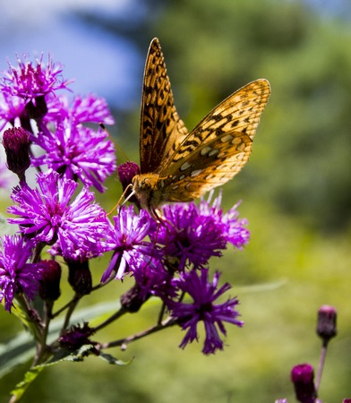 Orange and black butterfly on a purple flower Imagens